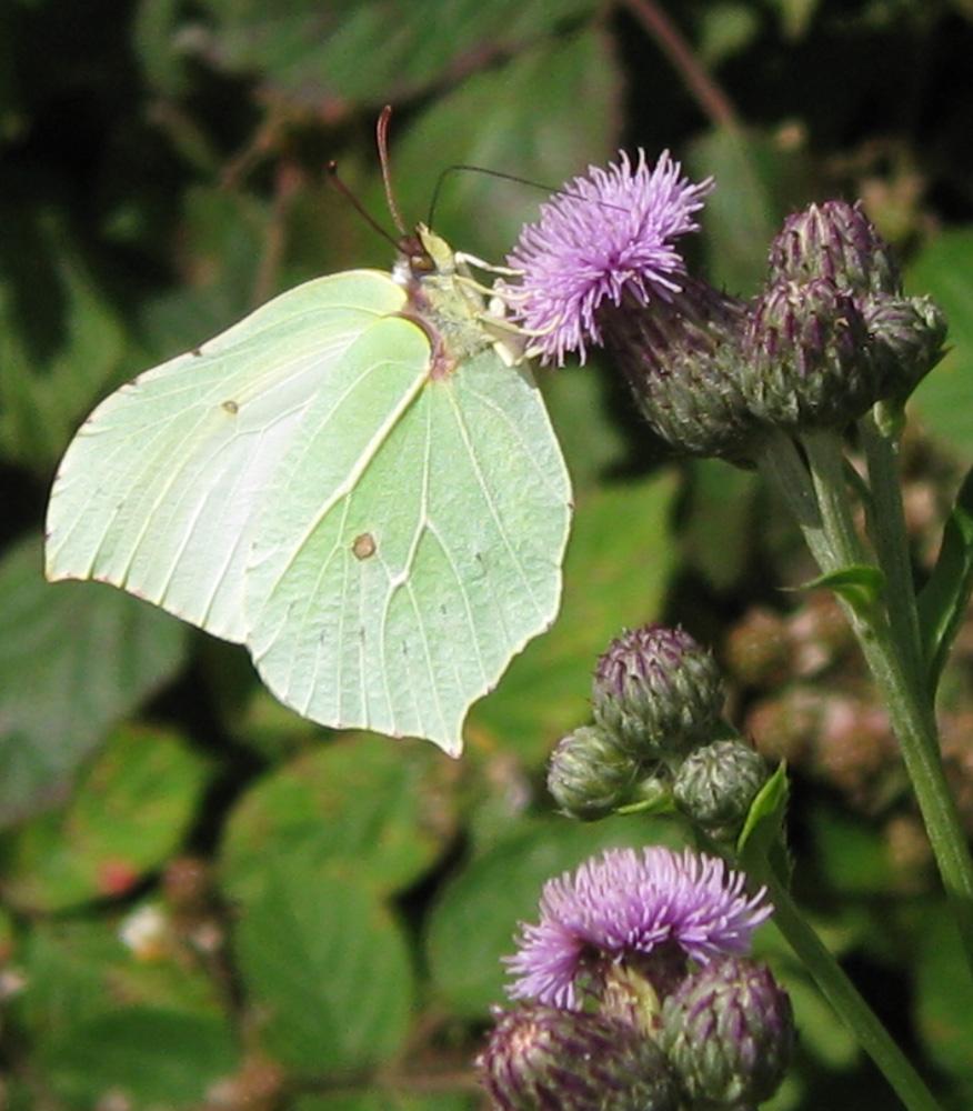 Brimstone (Female) by Susan  on the Butterfly Walk on 12-Jul-2009
