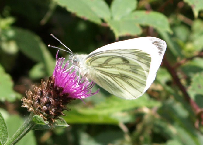 Green-veined White by Marcus on 21-Jul-2008