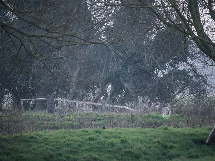 Owl and hare at Ellingham marshes