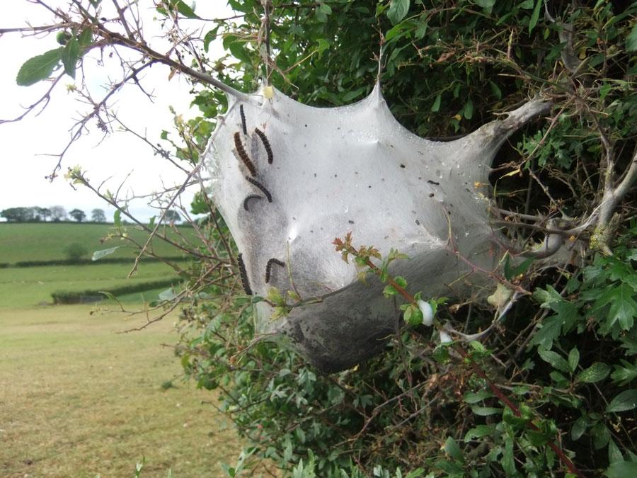 Ermine moth web