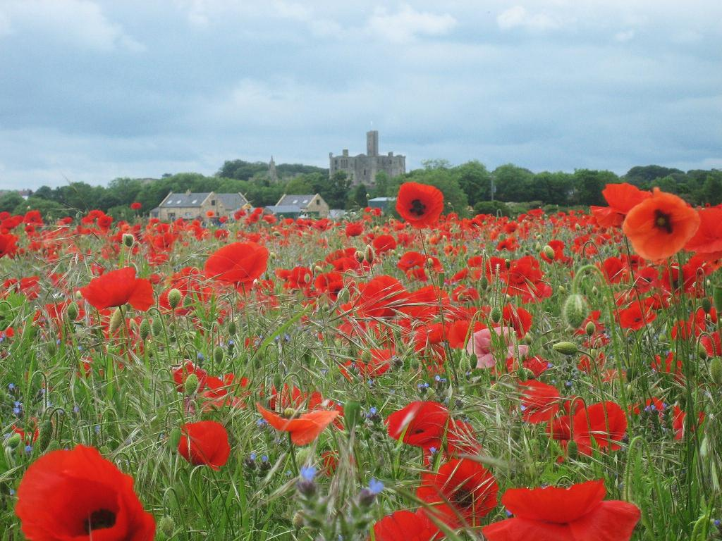 [Image: Poppyfield%208933%20MR.JPG]