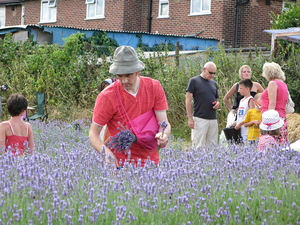 the community harvest - visitors come and pick their own lavender