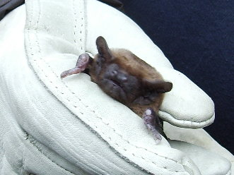 Noctule bat.JPG