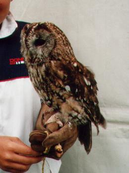 TAWNY OWL.JPG