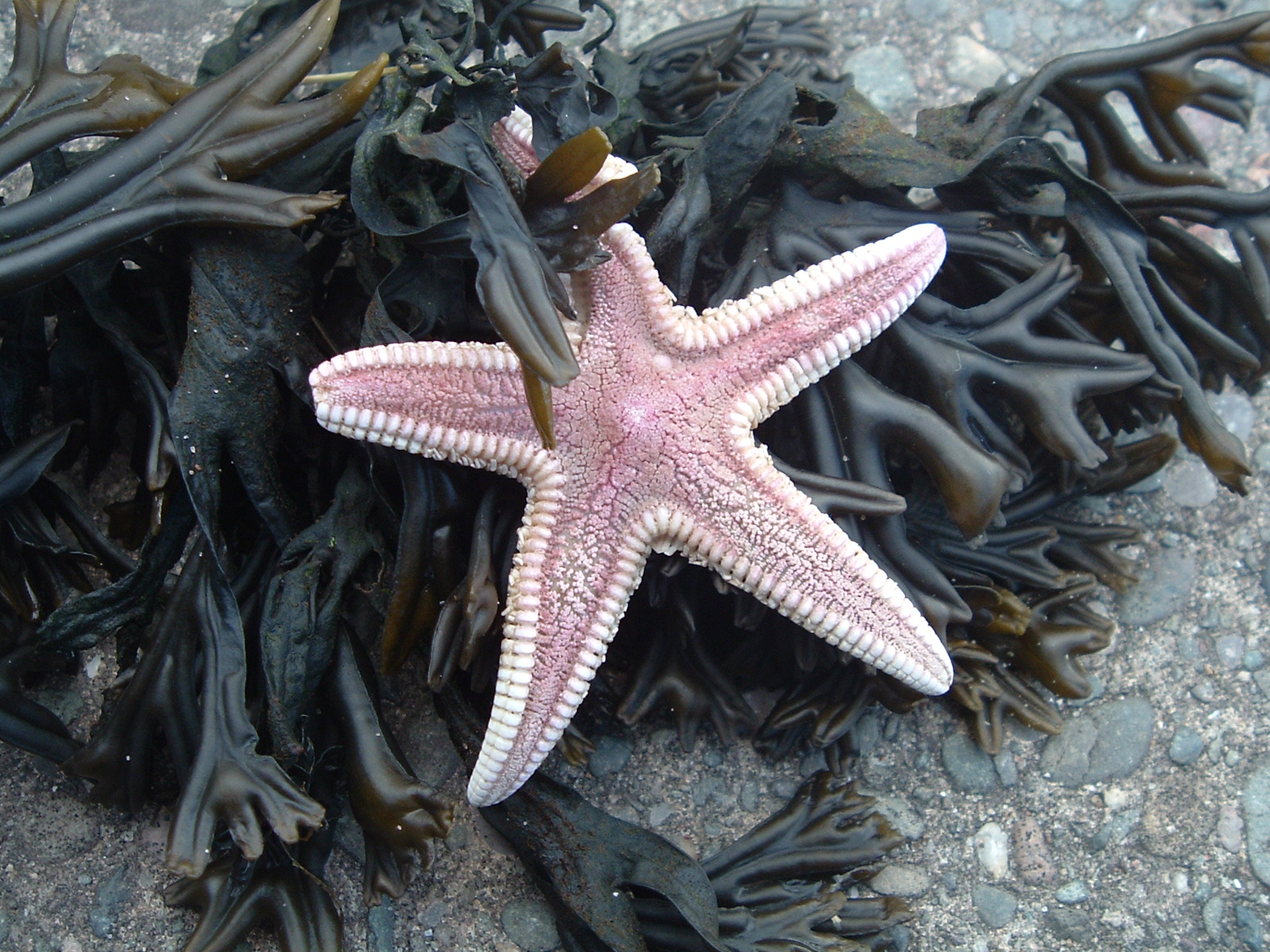 sea star with seaweed