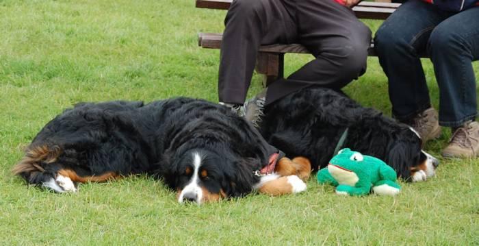 Bernese Mountain Dog Rescue Scotland