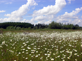 Field of Ox-eye Daisy's