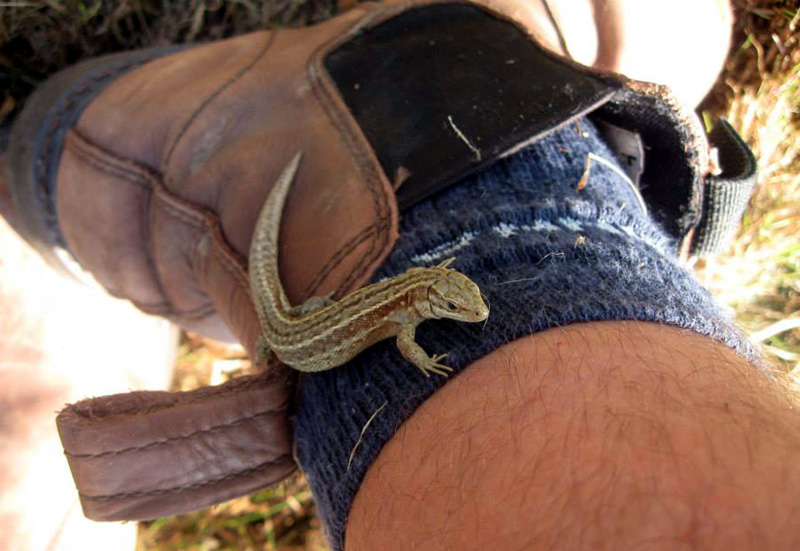 Lizard on boot
