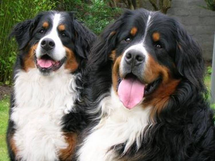 Bernese Breeders Association Of Great Britain Buying A Bernese