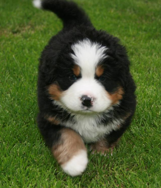 Bernese Breeders Association Of Great Britain Your First Bernese