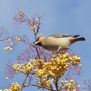 waxwing feeding on Rowan, Towneley Park, Burnley in November 2004