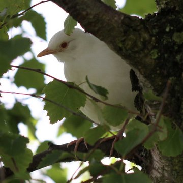 Albino blackbird, June 15 2009