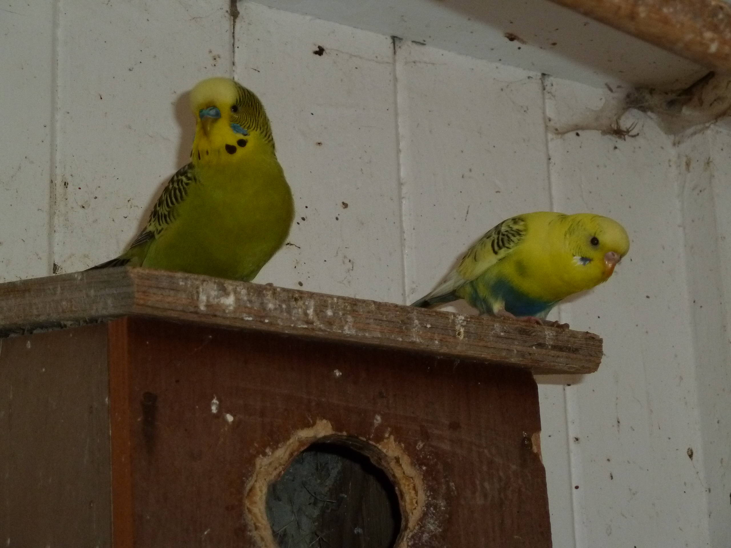 male and female Budgerigars