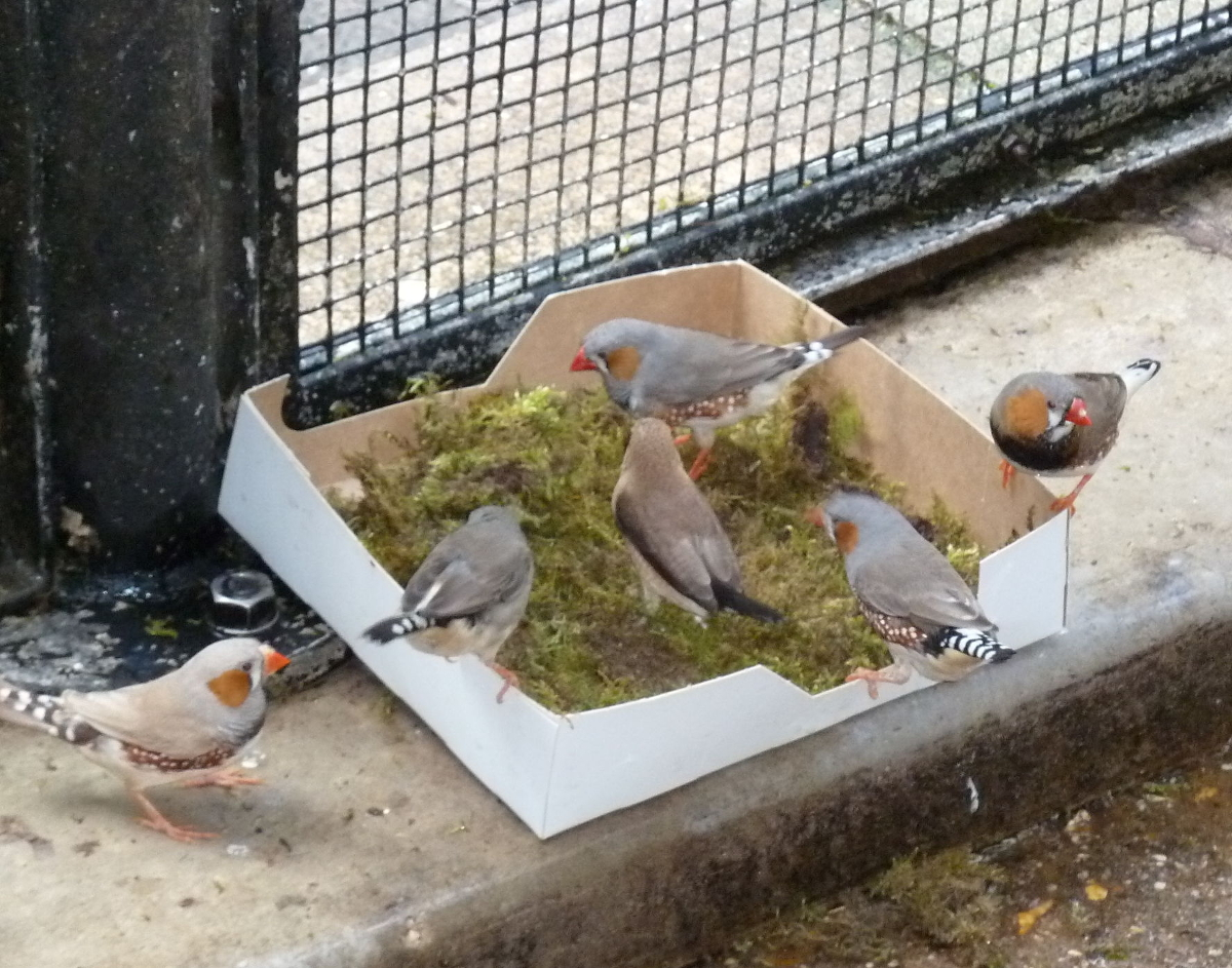 Male Zebra Finches collecting moss for their nests