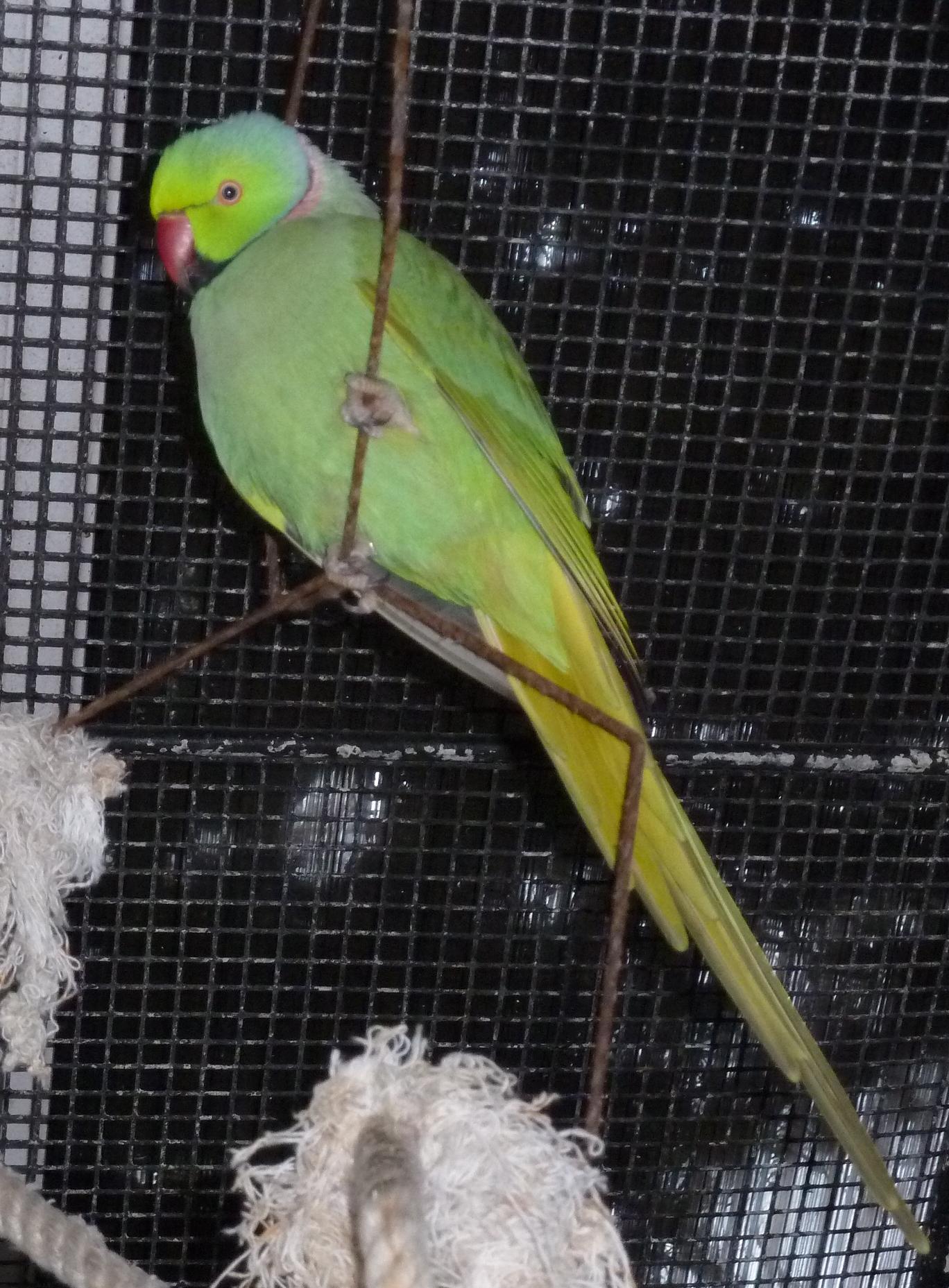 Male Ring-Neck, smaller beak variant