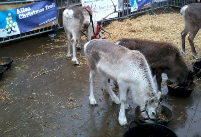 Reindeer at Christmas 2012