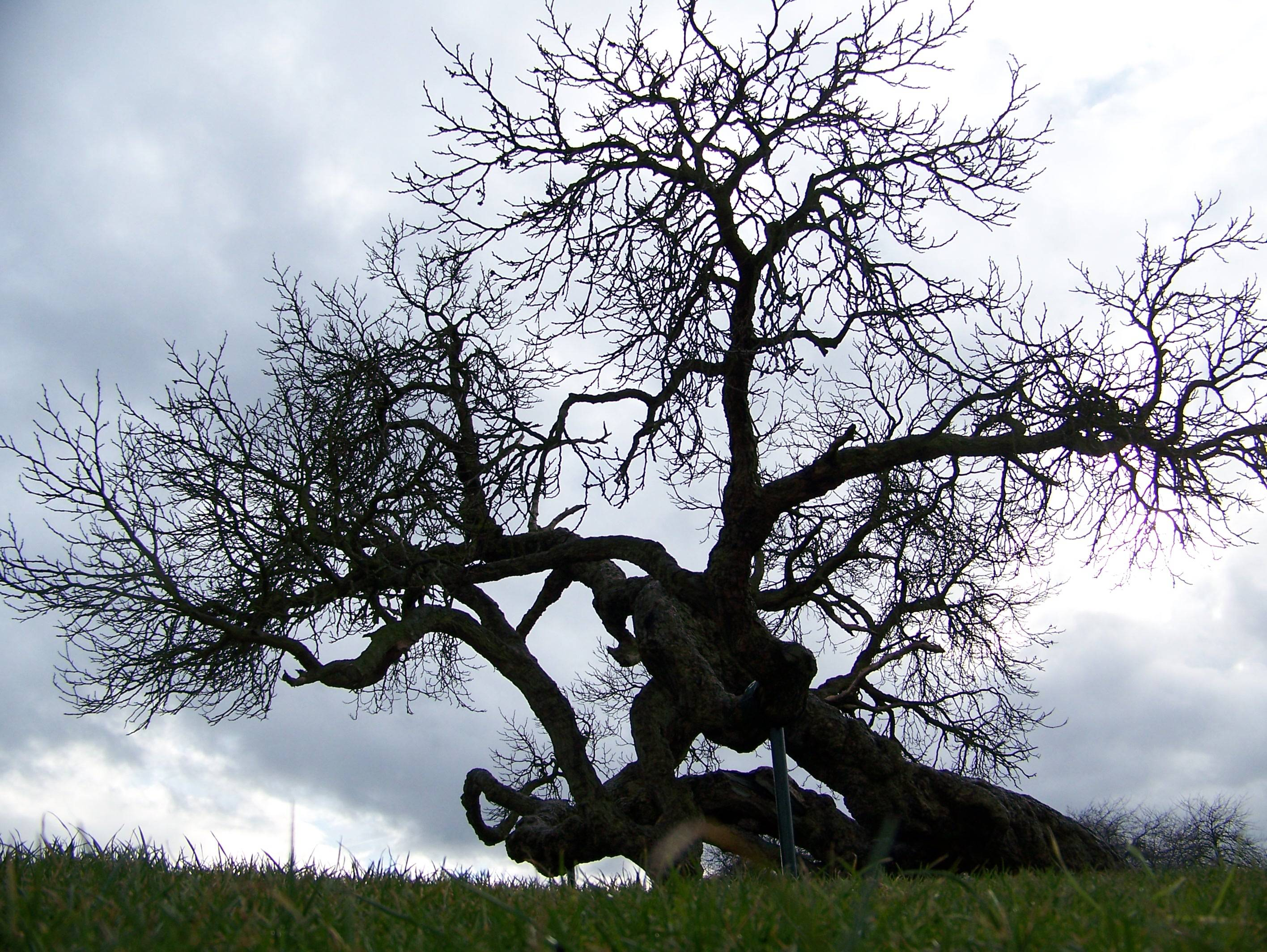 Lesnes Abbey Conservation Volunteers Mulberry Tree
